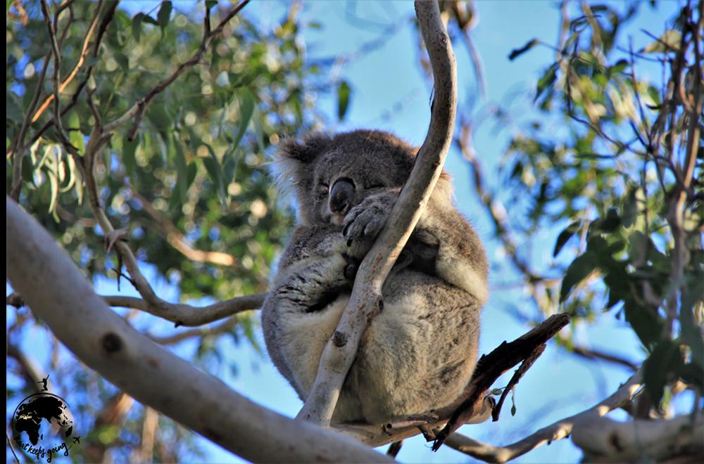 Koala Australie KaatKeepsGoing